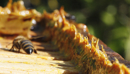 Propolis in beehives
