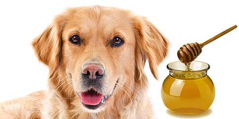 Can Dogs Have Honey?